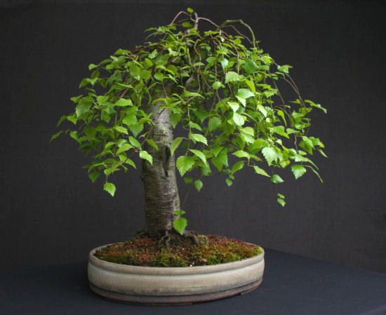 Downy Birch Progression Ibonsai